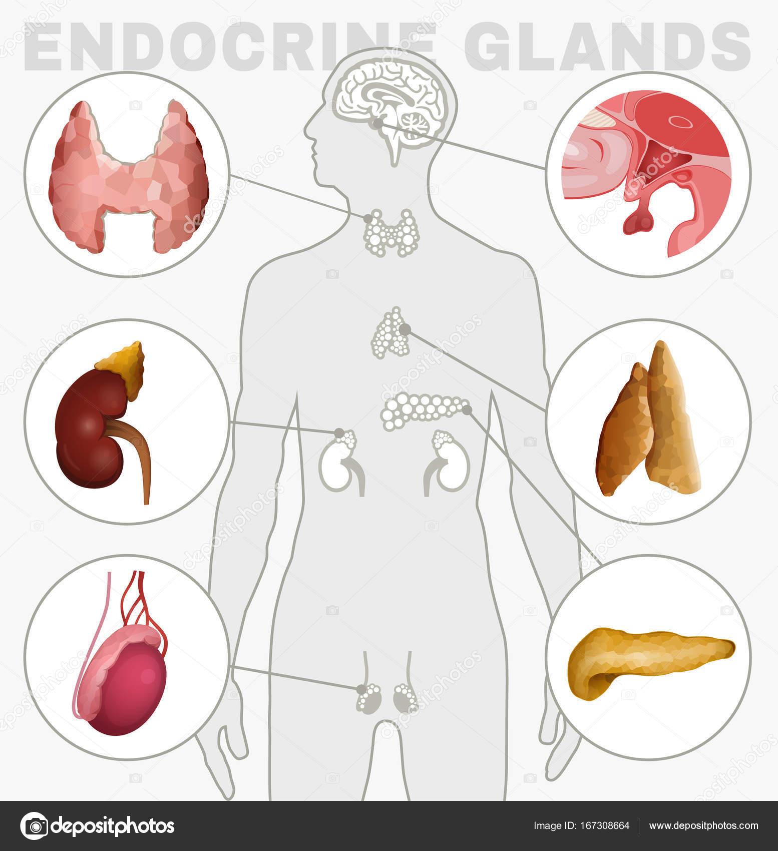 Endokrinen Drüsen Bild — Stockvektor © annyart #167308664