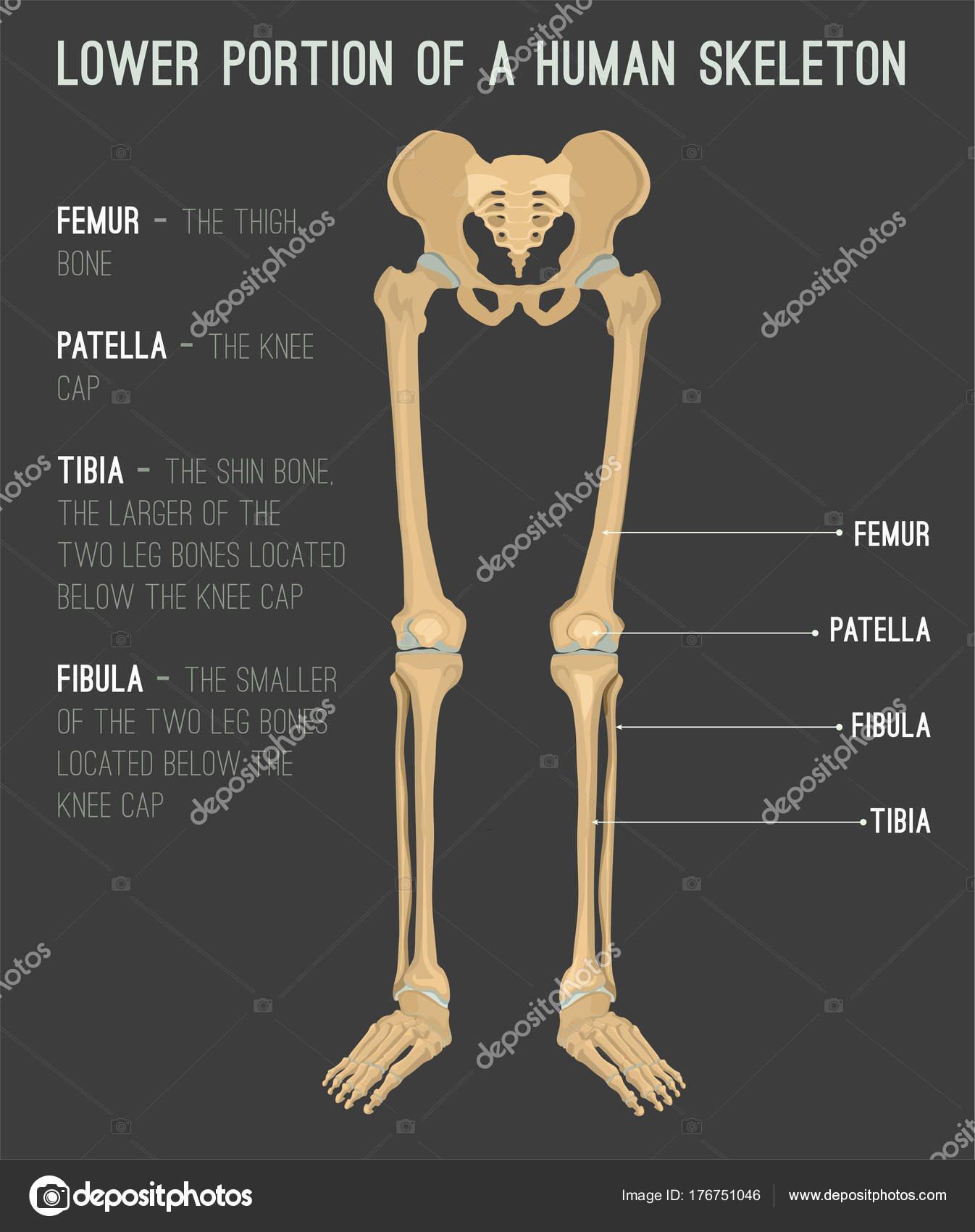 huesos de la pierna humana — Vector de stock © annyart #176751046