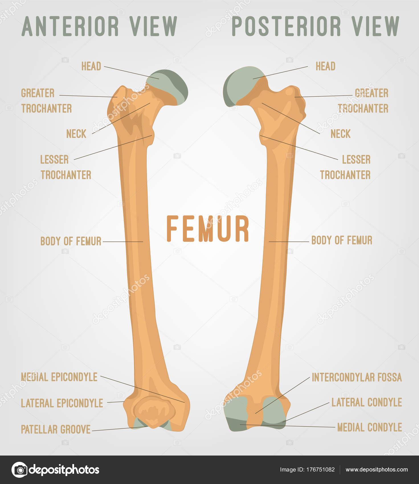 Huesos fémur humano — Vector de stock © annyart #176751082
