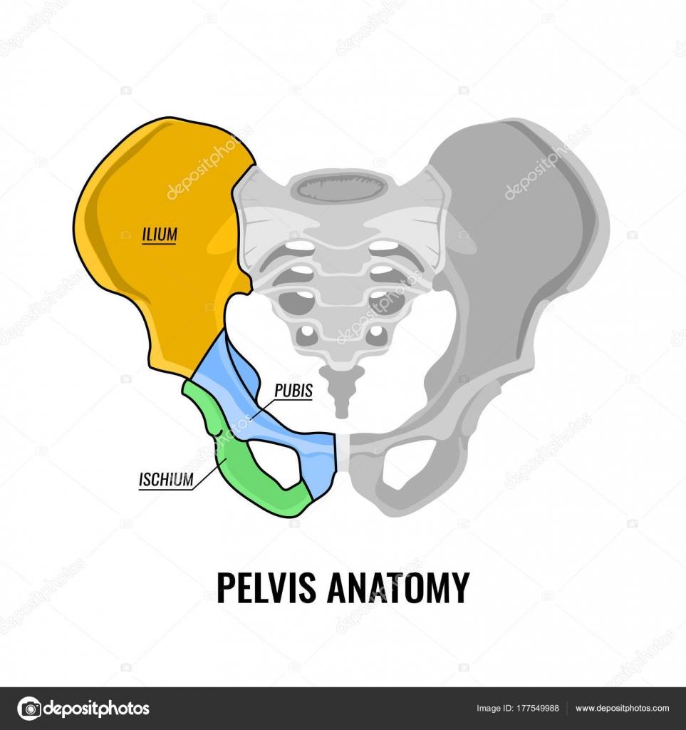 Esquema de la anatomía de pelvis — Vector de stock © annyart #177549988