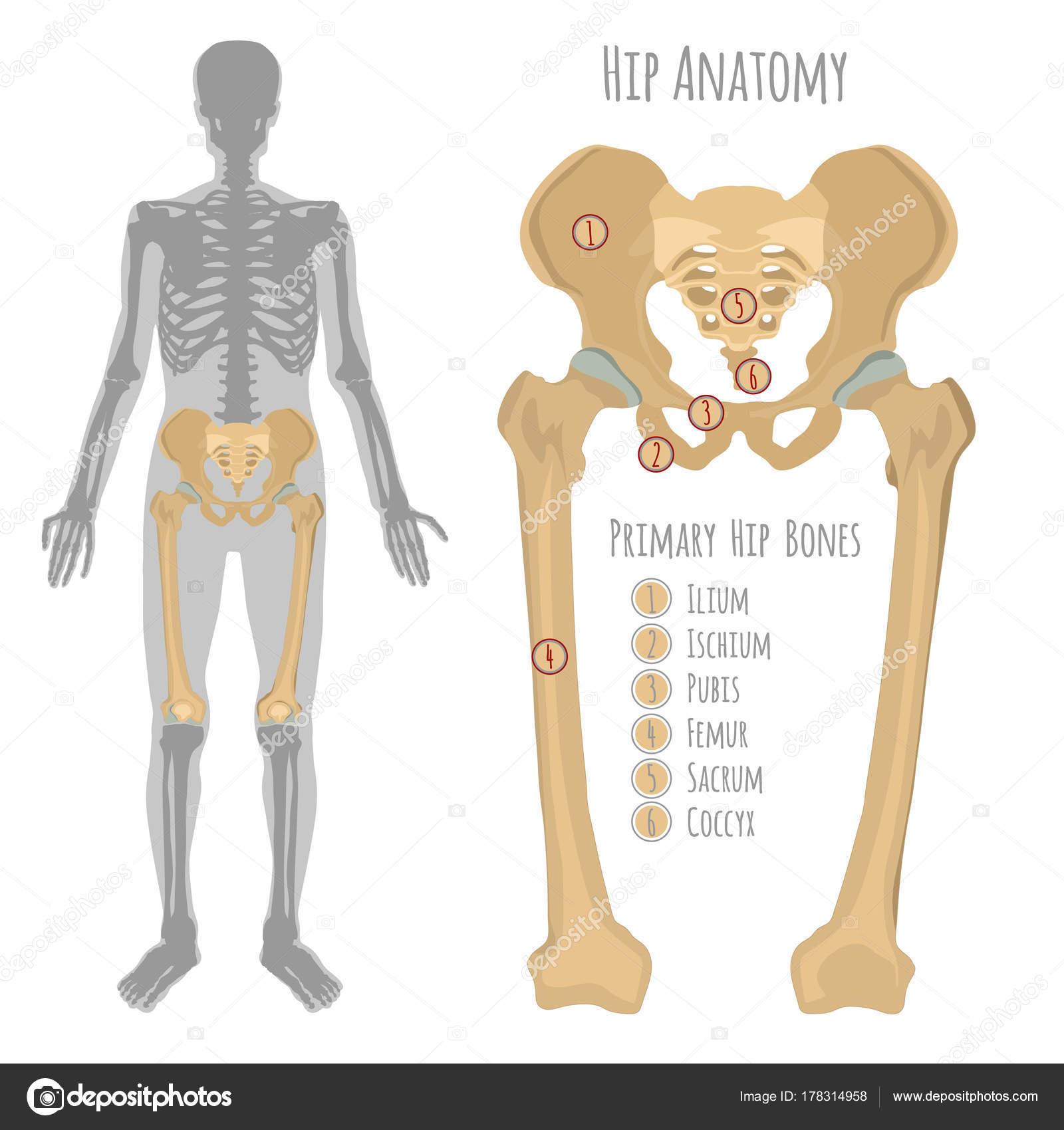 Anatomía del hueso de la cadera masculina — Vector de stock ...