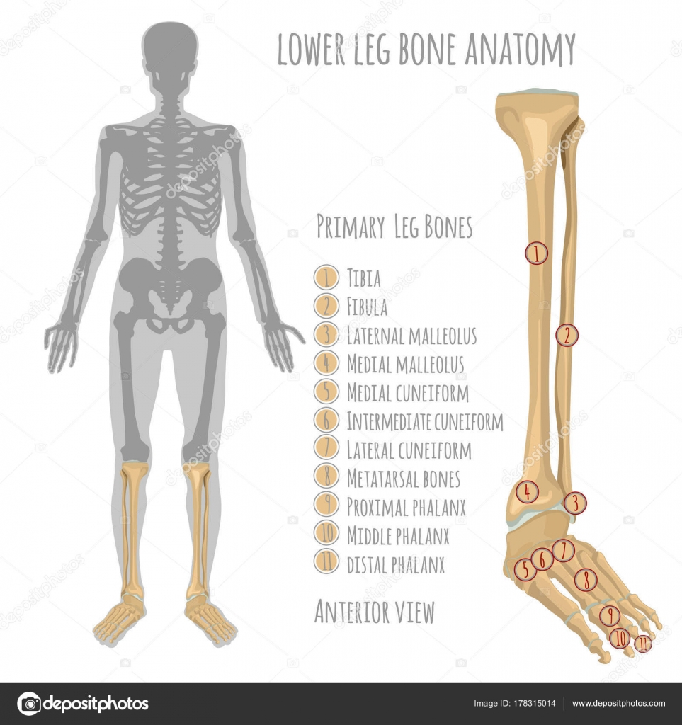 Lower leg bone anatomy — Stock Vector © annyart #178315014