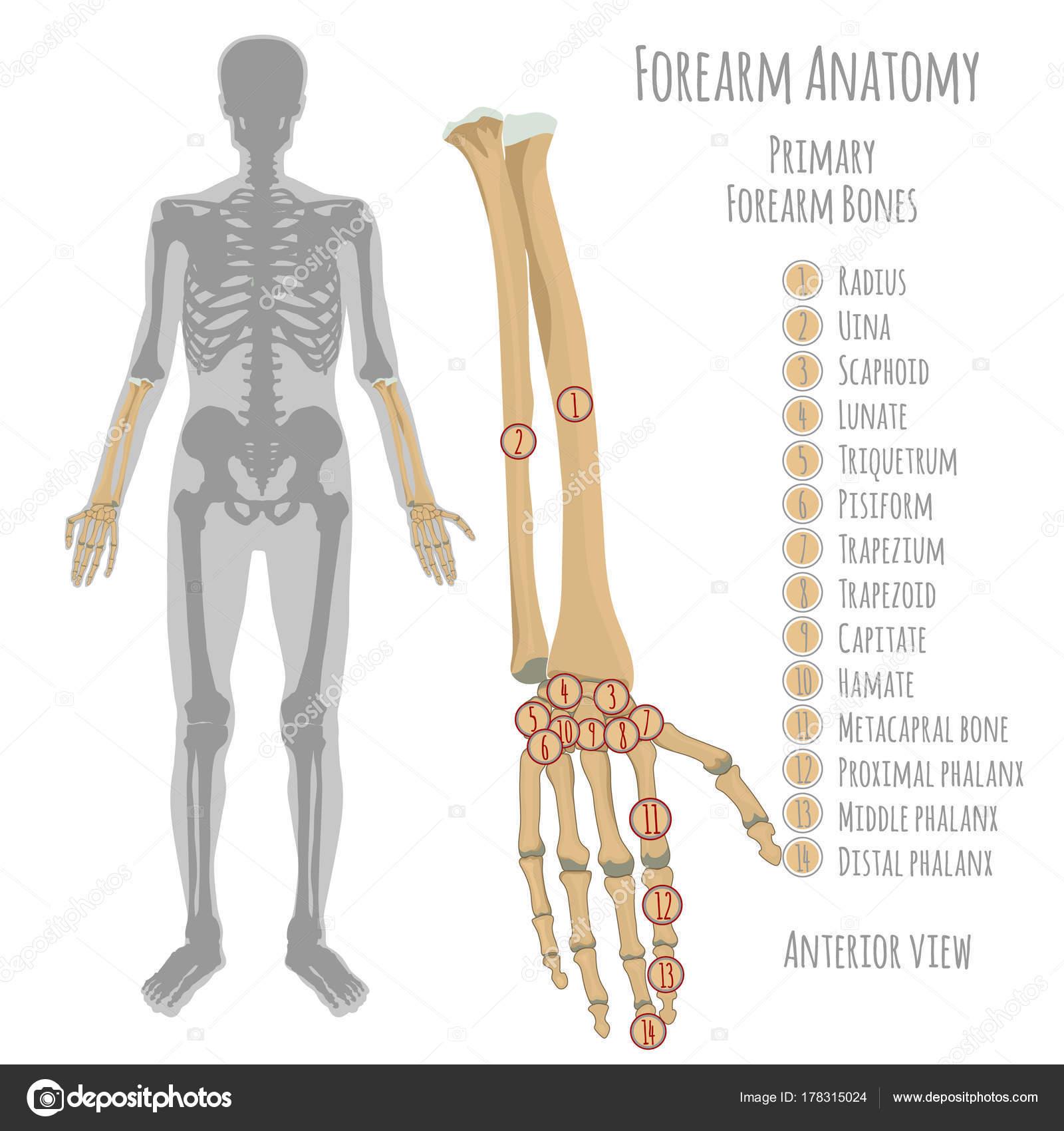 Männliche Unterarm Knochen Anatomie — Stockvektor © annyart #178315024