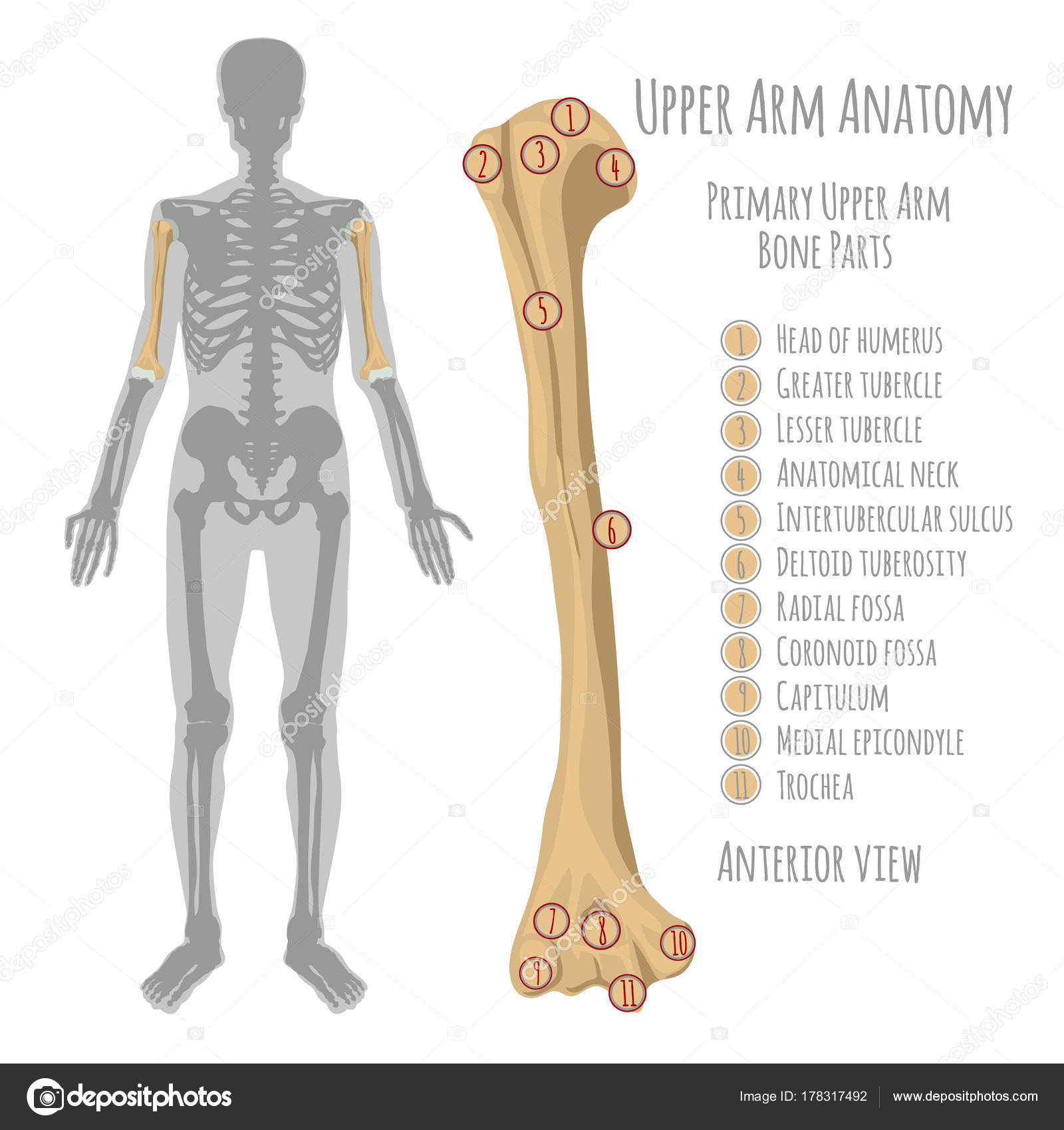 Human Upper Arm Anatomy Stock Vector Annyart 178317492