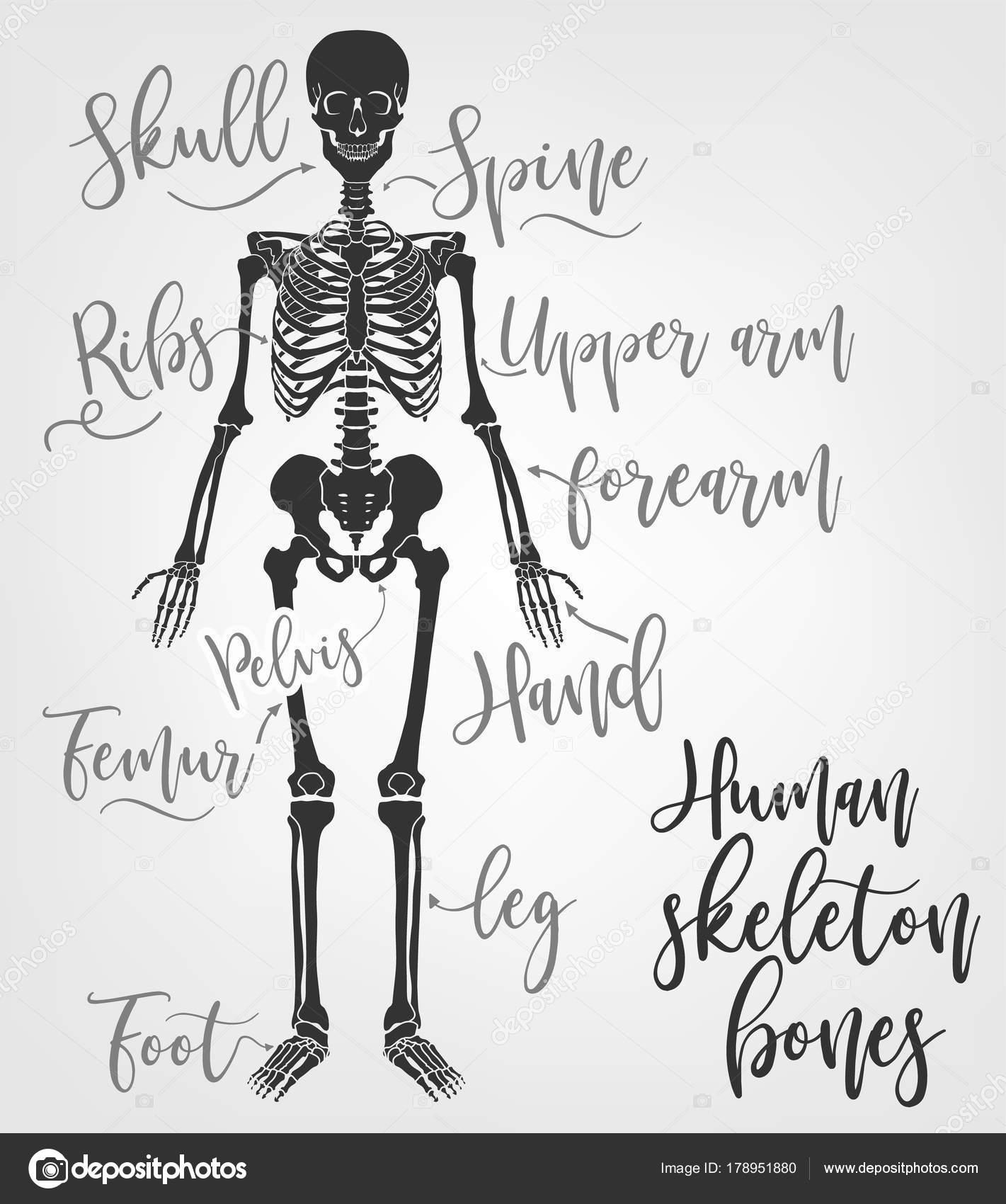 Huesos de esqueleto humanos — Vector de stock © annyart #178951880