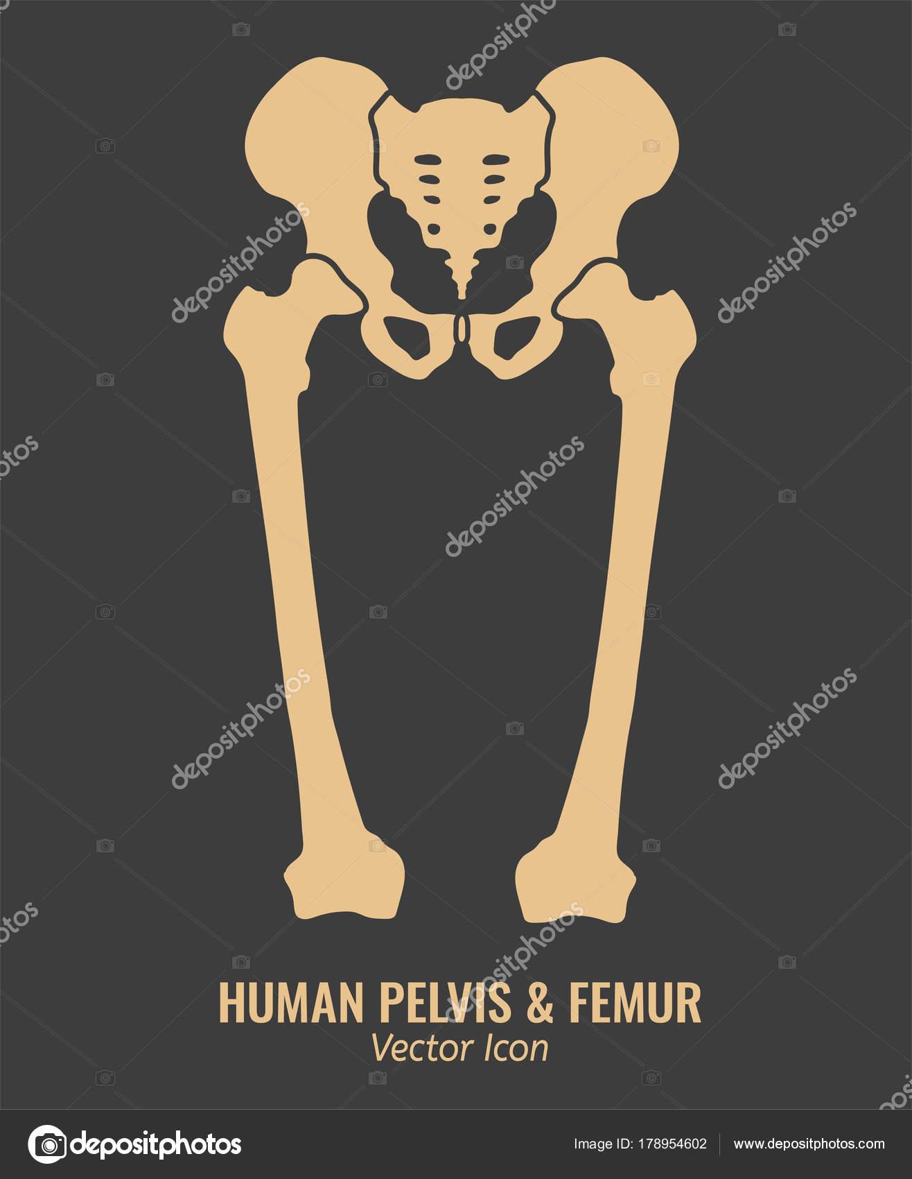 Huesos de la cadera humanos — Archivo Imágenes Vectoriales © annyart ...