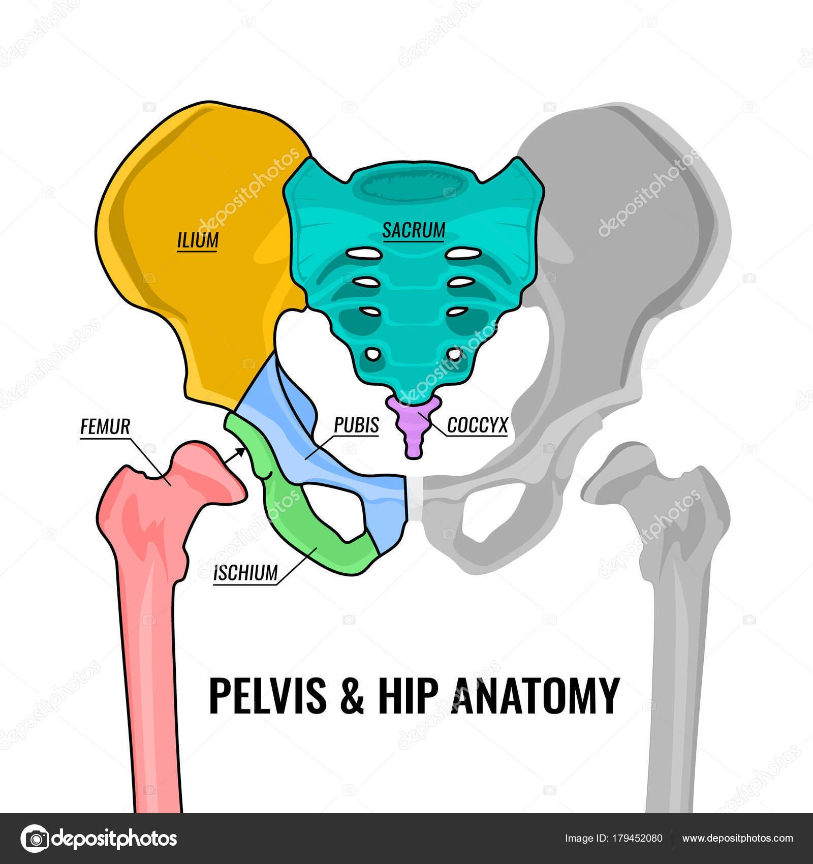 Esquema de la anatomía de pelvis — Vector de stock © annyart #179452080