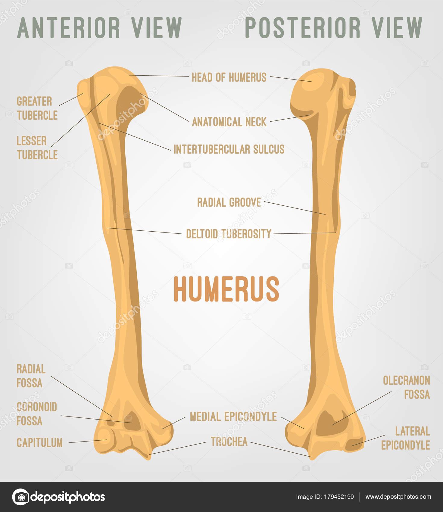 Menschlicher Humerus Knochen — Stockvektor © annyart #179452190