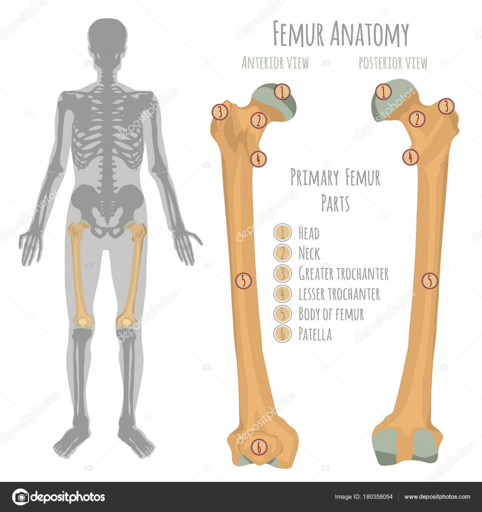 Male hip bone anatomy — Stock Vector © annyart #180358054