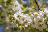 Jablečný květ, přírodní podívaná.