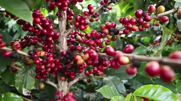 Coffee tree with ripe red fruits ready to harvest