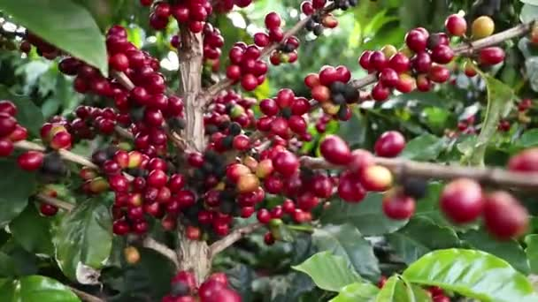 Close-up shot of coffee standing loaded with ripe fruits