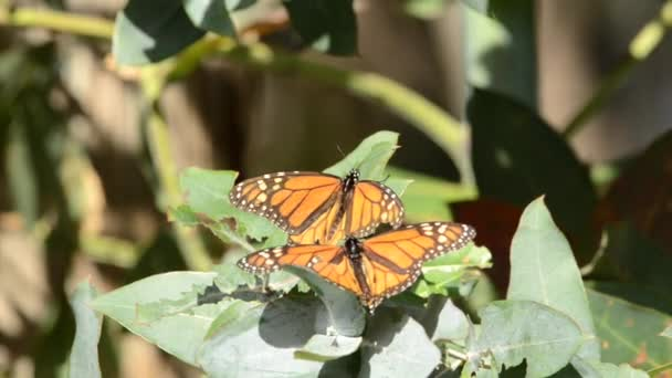 01 _ 05 _ 20 _ 4K HD Video Monarch Schmetterlinge 4