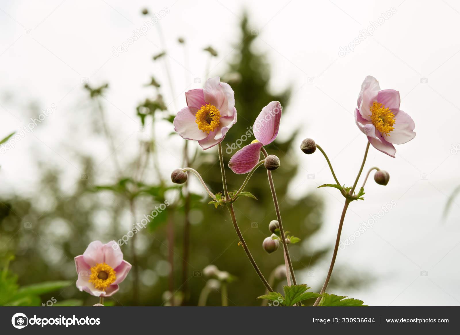 Flores Anemona Japonesa Anemone Hupehensis Planta Jardin Rosa