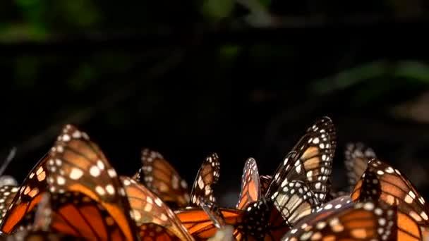 Egy csapat narancs és fekete uralkodó pillangó (Siproeta Epaphus) együtt csapkodják szárnyaikat a földön