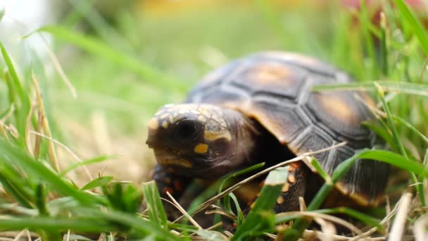Kis teknős marad csendes a száraz és zöld fű a kertben