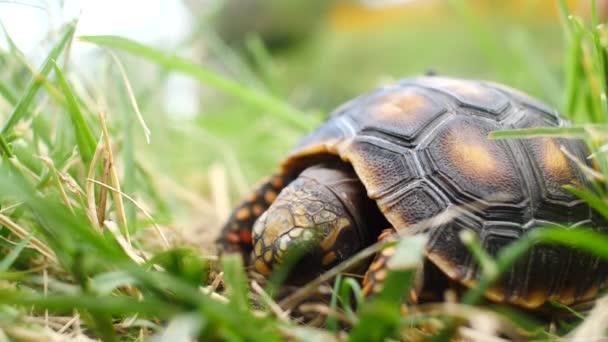 Kis teknős evés ürülék egy zöld és száraz kertben egy légy a kagyló