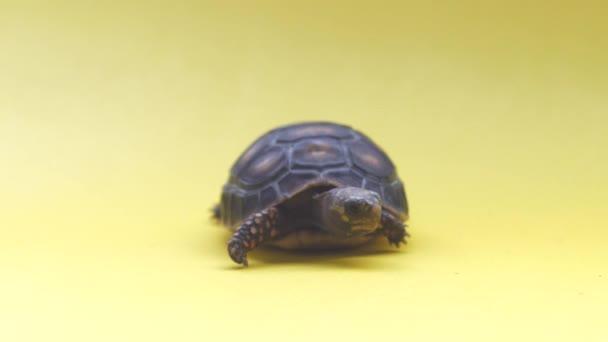 Kis szárazföldi teknős egy sárga háttér