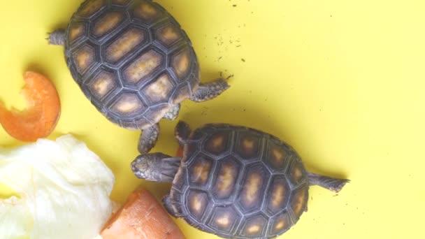 Kis szárazföldi teknősök próbál enni egy sárgarépa egy sárga háttér