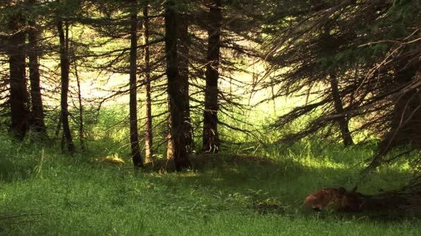 Jelen kráčí a hledá něco v lese se spoustou stromů a trávy