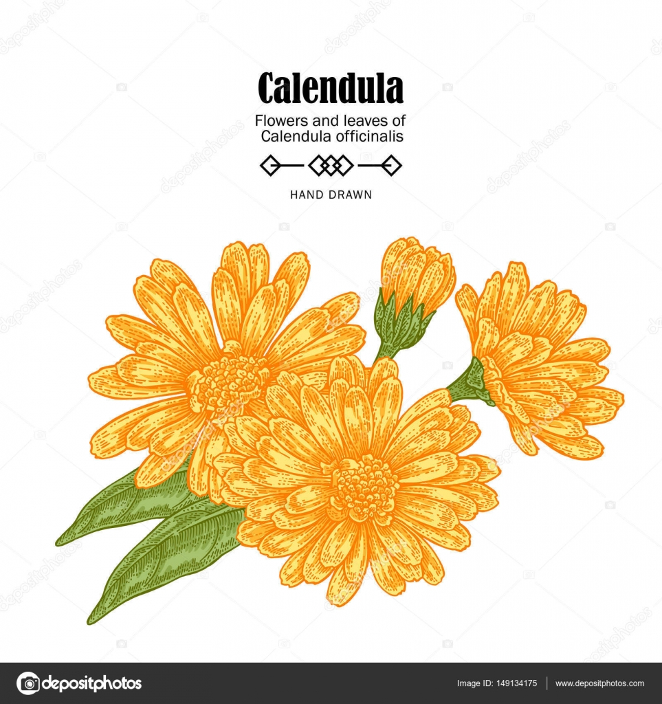 Vector Illustration Calendula Flowers On White Background Medicinal