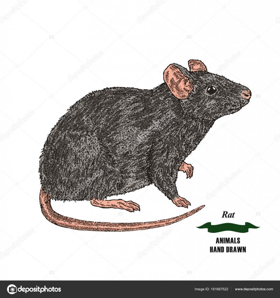hand gezeichnet maus oder ratte tier farbige skizze auf wei em hintergrund vektor illustration. Black Bedroom Furniture Sets. Home Design Ideas