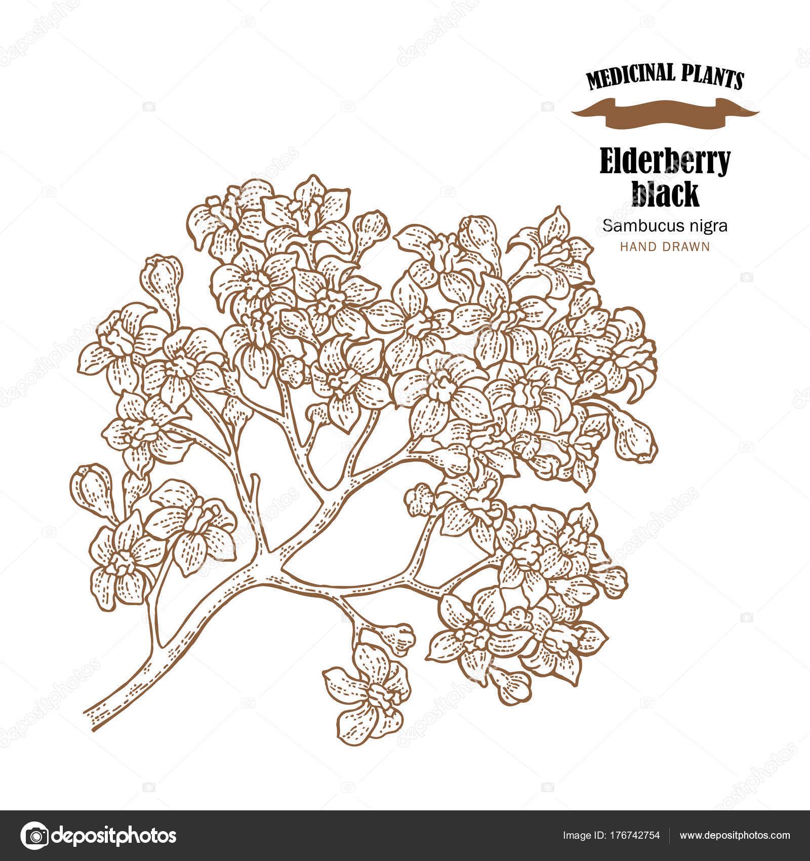Elderberry black common names sambucus nigra hand drawn elder elderberry black common names sambucus nigra hand drawn elder branch with flowers vector illustration isolated on white background vector by jka mightylinksfo