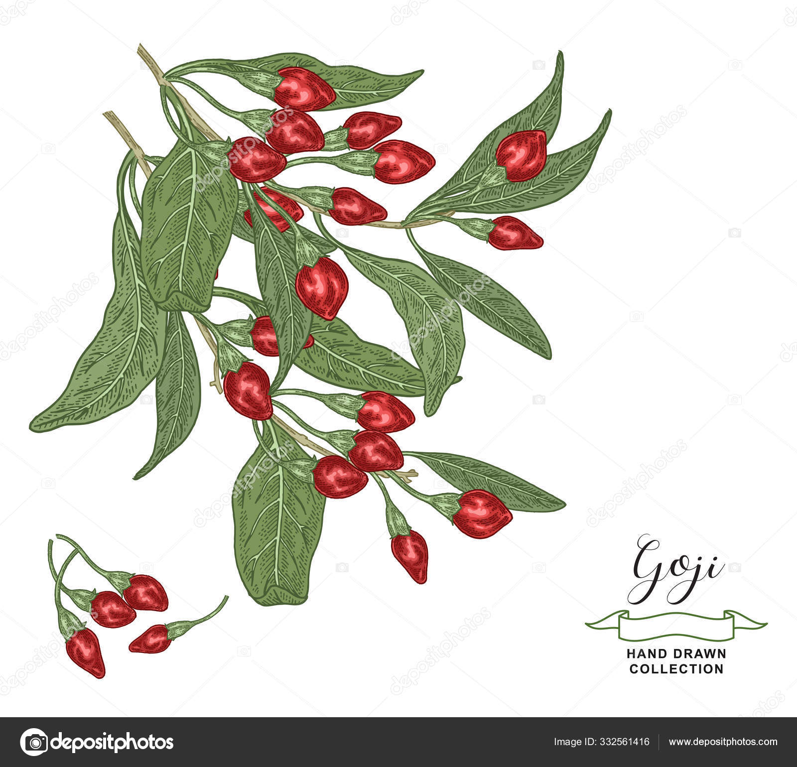 Goji Branches With Leaves And Berries Isolated On White Background