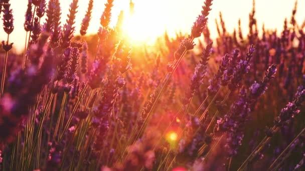 wunderschönes Lavendelfeld im Sonnenuntergang