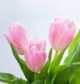 Fotografie Tři krásné růžové tulipány kytice