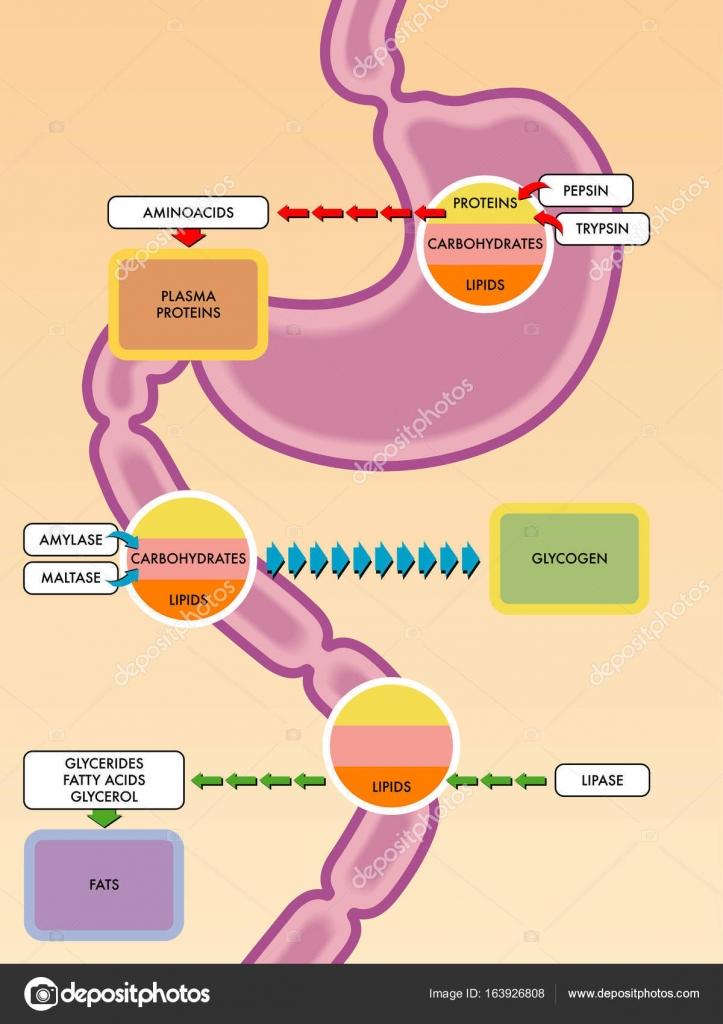 diagrama del proceso digestivo — Archivo Imágenes Vectoriales ...