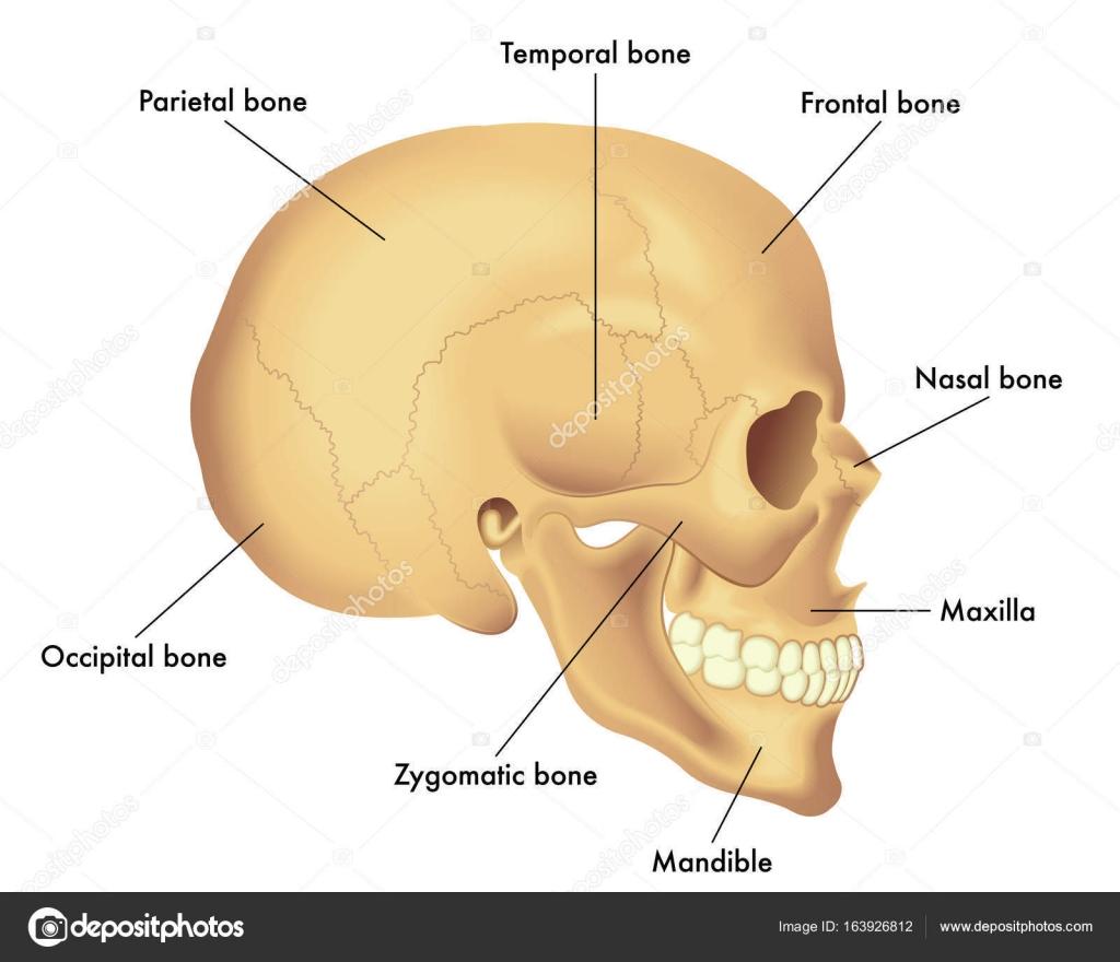 grundlegende Schädel Anatomie — Stockvektor © rob3000 #163926812