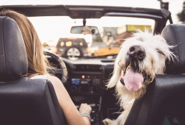 Funny dog with owner in car