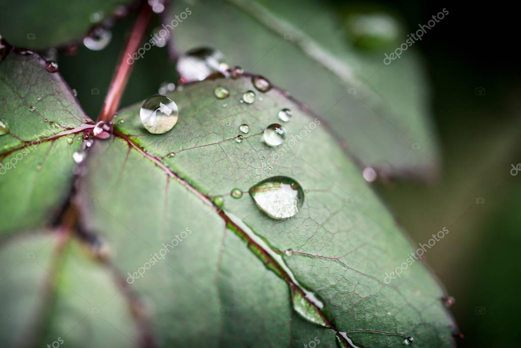 Macro water drops on a leaf during rainy day