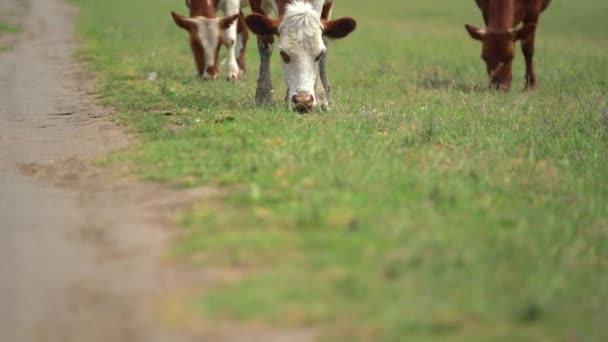 3 braune und weiße Kühe grasen an sonnigen Frühlingstagen in der Nähe der Landstraße auf der Wiese mit grünem Gras. Kamera ragt aus Gras auf diese Nutztiere.