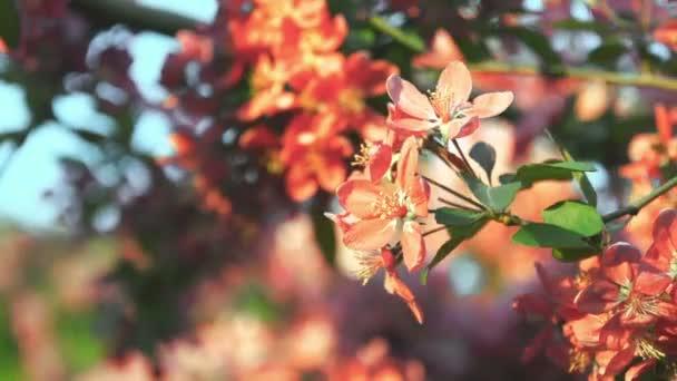 Sakura flower blossom. Sakura tree.