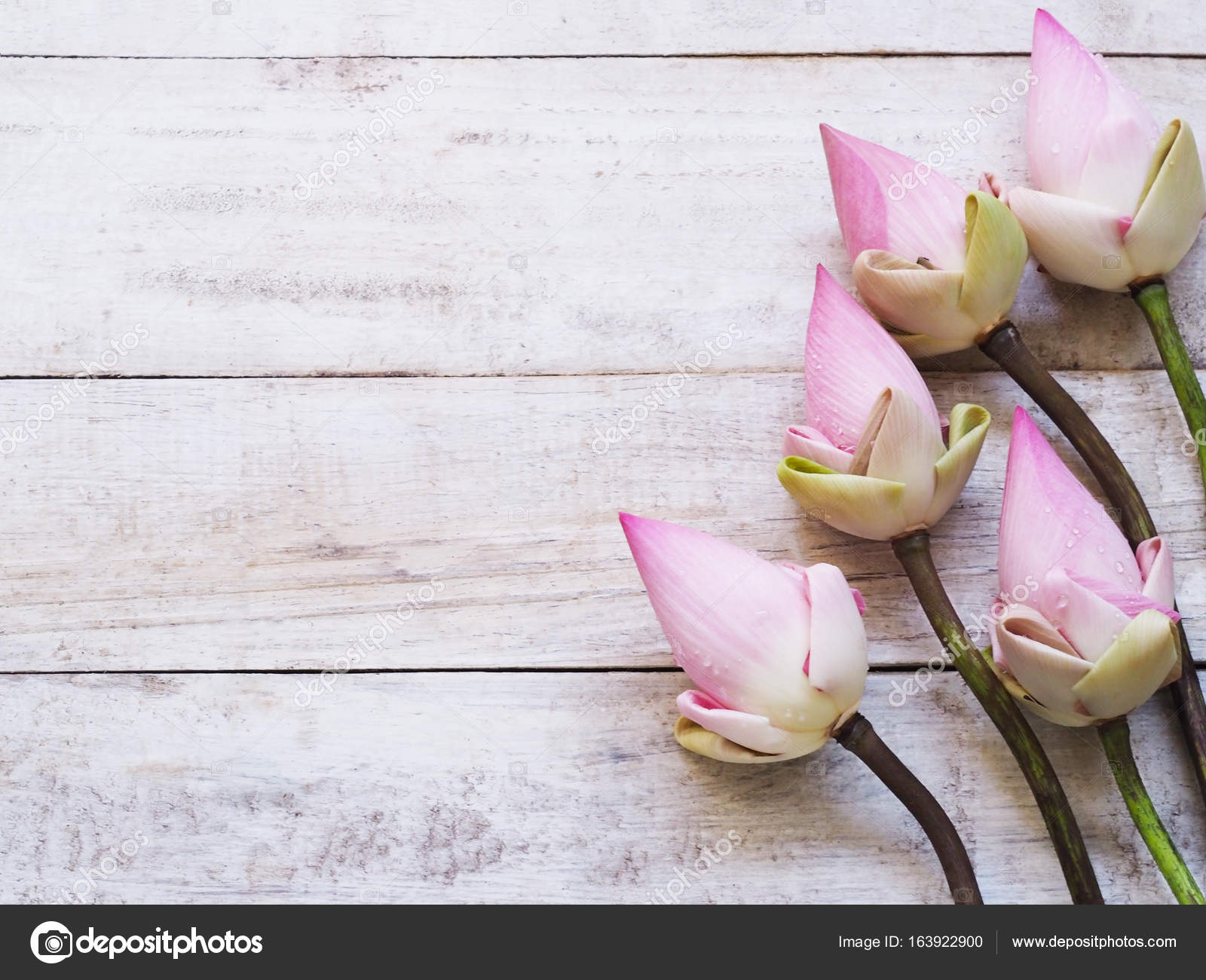Pink Lotus Flowers On Blue Wooden Table Stock Photo Pkanchana