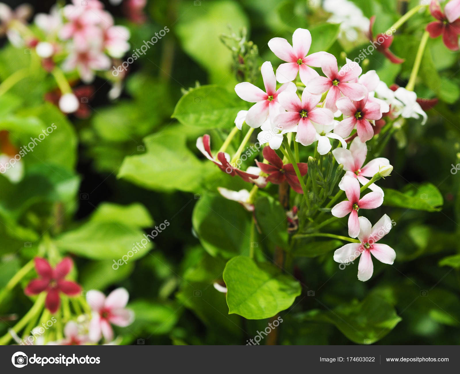 Small White And Pink Creeper Flowers With Green Leaves Stock Photo