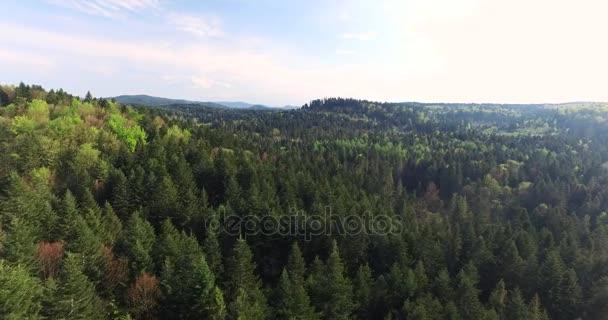 Les. Sluneční paprsky se dotkl vrcholky vysokými borovicemi