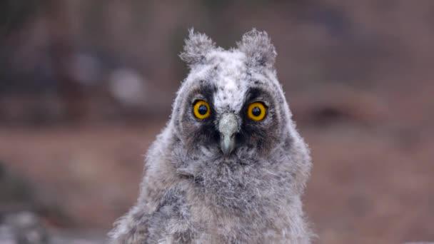 Bagoly tükör sárga szemével nézi a ragadozó, csendben, és csendben szabadban