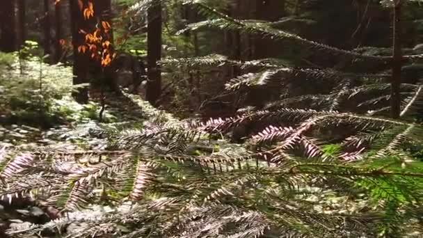 Strom ze sekvoje v divoké přírodě. Jasně slunečný den