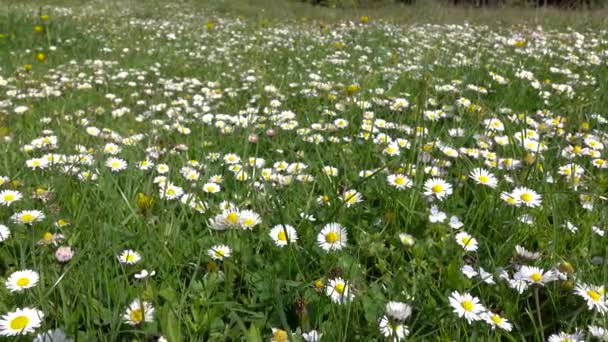 Glade of medicinal chamomile and other field plants in grass