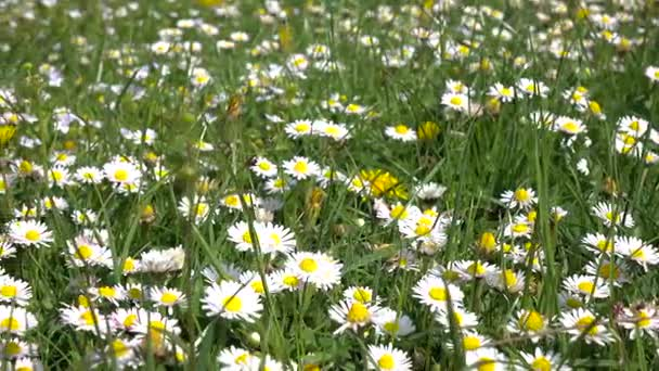 Daisies bloom on field on summer day in green grass
