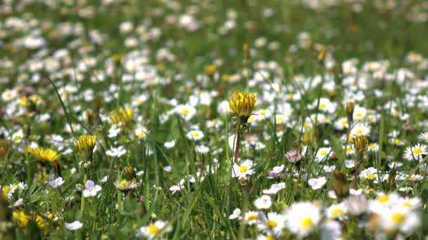 Closeups of daisies bloom on field on sunny summer day