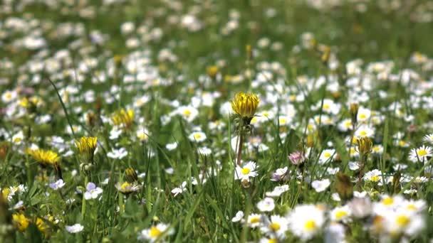 Closeups sedmikrásky kvetou na poli u slunečného letního dne
