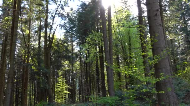 Giornata di sole di primavera in conifera fitta foresta di pini