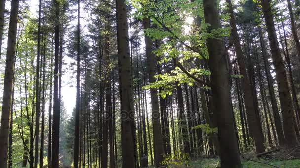 Sun rays breaks through slender green tree trunks. Wild forest