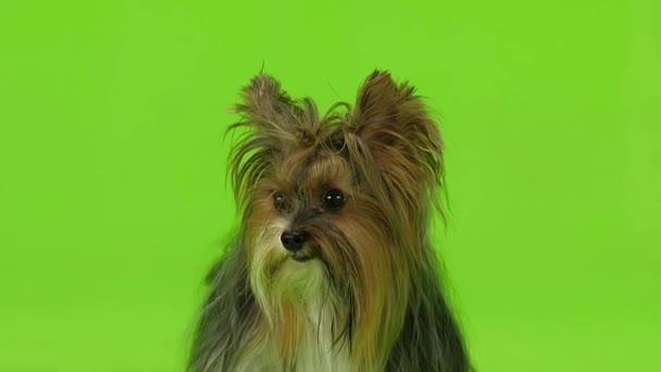 Cane mostra la lingua. Schermo verde. Slow motion
