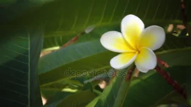 Kvetoucí strom, s sníh bílé, žluté kvetoucí květina