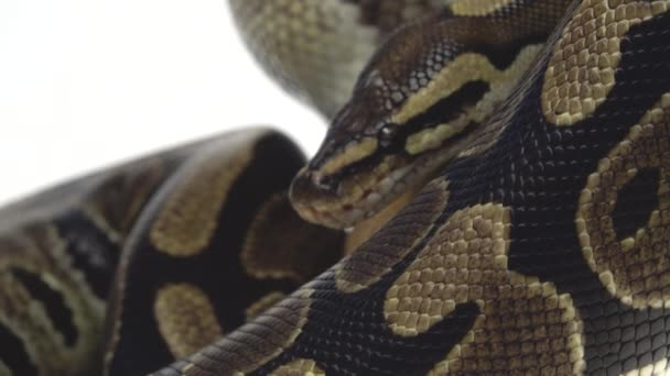 Royal Python vagy Python regius fából készült snag a stúdióban, fehér háttérrel. Közelről.